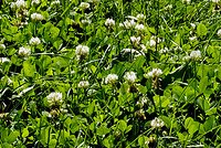 Picture of clover in a lawn.